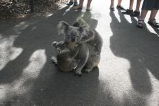 and cute koalas