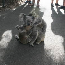 and cute koalas