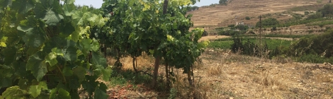 Vineyard Ta Mena, wine tasting Gozo